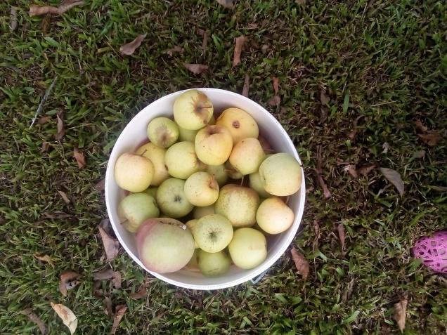 Cosecha de manzanas, las plagas son muy comelonas
