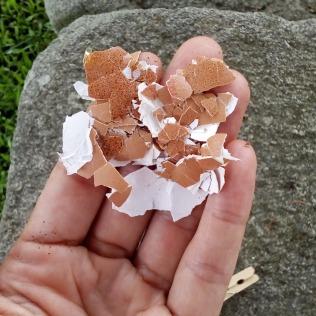 Cáscaras de huevo trituradas para agregar al Compost