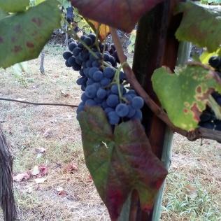 Uvas para vino