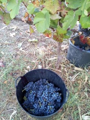 El fruto del regalo de Dionisio, la uvas para el vino